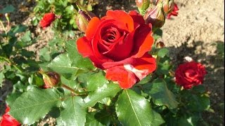 How To Grow Roses From Cuttings (Urdu/Hindi)