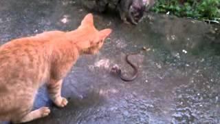 getlinkyoutube.com-pagi jumaat ular vs kucing