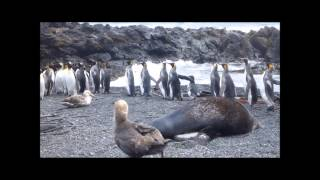 getlinkyoutube.com-Изнасилование пингвинов морскими котиками (Часть I)