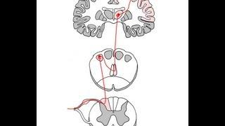 getlinkyoutube.com-dorsal column pathway