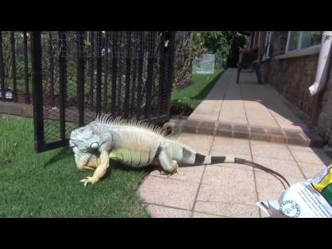 Iguana breeding season craziness