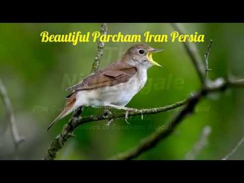 Nightingale Singing آواز خواندن  بلبل پرنده آواز Nightingale Bird Song  Beautiful Parcham Iran