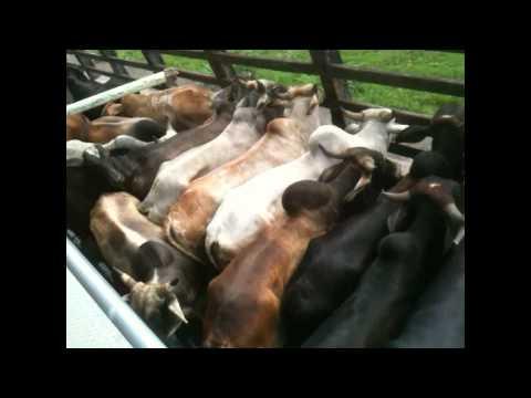 MB MILK&BEEF, abate de 40 bovinos 18@ média