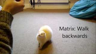 getlinkyoutube.com-Cute ferret tricks