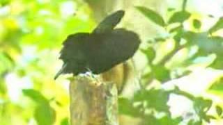 getlinkyoutube.com-O pássaro mais bonito do mundo