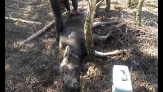 Akcja uwalniania łoszaka uwięzionego na wnyku - Kruszewo 2015 r