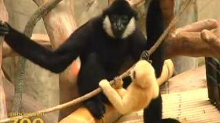 getlinkyoutube.com-Baby Gibbon Branching Out at Brookfield Zoo