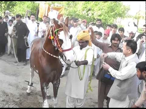 Brown Horse Dance in Omair's Wedding