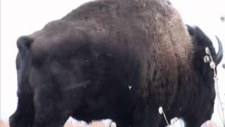 getlinkyoutube.com-Nebraska Bison Hunt 2012