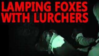 getlinkyoutube.com-Lamping Foxes | Working Lurchers
