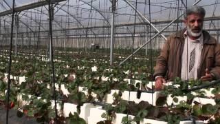 getlinkyoutube.com-كيفية زراعة الفراولة في البيوت البلاستيكية