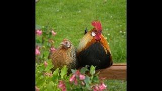 Ошибки начинающих птицеводов. Вытяжка в курятнике