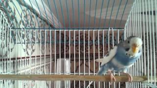 رقصات ذكر طائر البادجي للفت إنتباه الأنثى