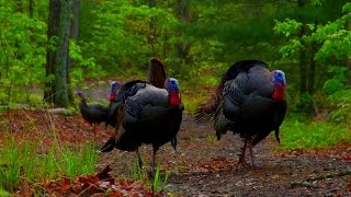 The Best Hardwoods Turkey Hunt- In Your Face Mountain Gobbler Double