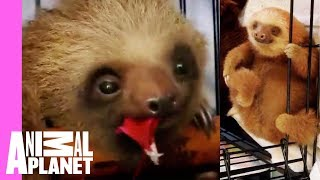Bath Time for Baby Sloths | Too Cute