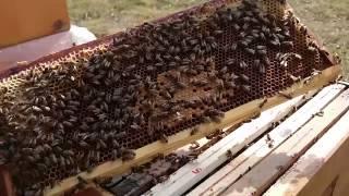 getlinkyoutube.com-Rozwój pszczół w ulach jednościennych