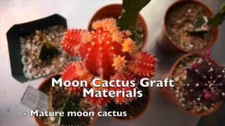 getlinkyoutube.com-Cassandre Denis Cactus Grafting