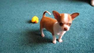 getlinkyoutube.com-9 week old Chihuahua puppy playing