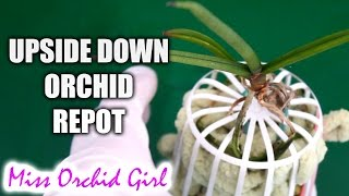 getlinkyoutube.com-Upside down Orchid update + small rant