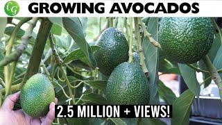 getlinkyoutube.com-Growing Avocado : The best avocados to grow in your garden!