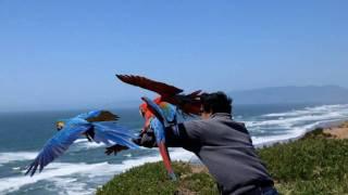 getlinkyoutube.com-Macaws @ Fort Funston Memorial Weekend
