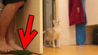 getlinkyoutube.com-CAT VS CUCUMBER PRANK FAILS!!