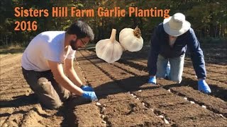 Sisters Hill Farm Garlic Planting October 2016