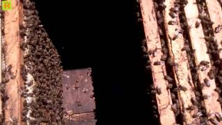 getlinkyoutube.com-Как удержать пчелу от роения (деление) пасека