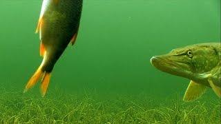 getlinkyoutube.com-Fishing: PIKE & DEADBAIT 1. Рыбалка: щука и мёртвая рыбка / живец (тушка) -1.