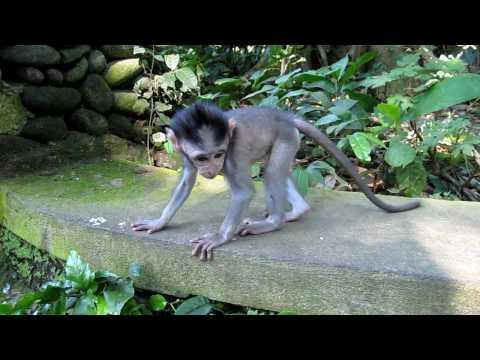 Cute baby macaque monkey in Ubud