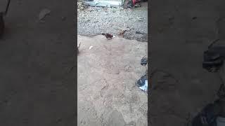 Combat de coq 🐓