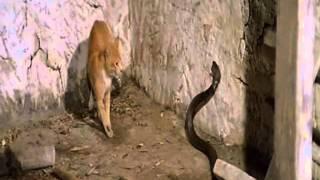 getlinkyoutube.com-Кот против Кобры (фрагмент из к/ф Змея в тени Орла)