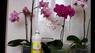getlinkyoutube.com-Домашние орхидеи- Натуральное удобрение СУПЕР!