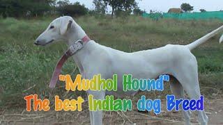 getlinkyoutube.com-Mudhol Hound | Karnataka Dog Breed | Hunting Dogs