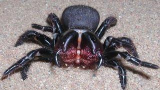 getlinkyoutube.com-MASSIVE Sydney Funnel Web Spider VS Cockroach