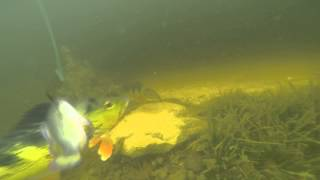 getlinkyoutube.com-Peacock Bass Underwater Strike