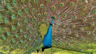 getlinkyoutube.com-The Most Beautiful Peacock Dance Display Ever - Peacocks Opening Feathers HD & Bird Sound
