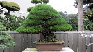 getlinkyoutube.com-Kimura's Bonsai garden