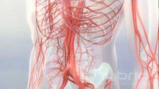 İnsan anatomisi, Animasyon