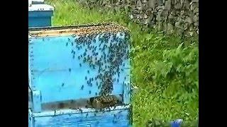 getlinkyoutube.com-Любительский фильм пчелы