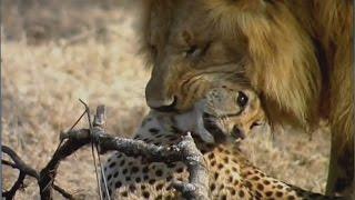 getlinkyoutube.com-WILD VS WILD - LION BRUTALLY KILLS A CHEETAH