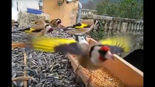 getlinkyoutube.com-Magnifique vidéo de Chardonneret élégant en liberté - European Goldfinch - Carduelis carduelis