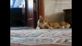 getlinkyoutube.com-قطط مضحكة جدا .. فى منتهى الكوميديا حتى البكاء