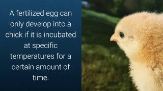 getlinkyoutube.com-The difference between Fertilized and Unfertilized Eggs