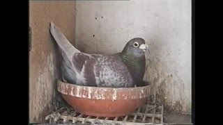 getlinkyoutube.com-Video 148: Albert & Dennis Taylor of Eastwood: Premier Pigeon Racers