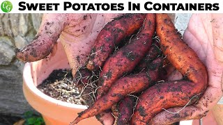 getlinkyoutube.com-Growing Sweet Potatoes in Containers - Guide, Tips and Harvest