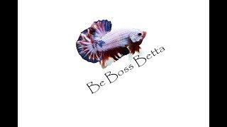getlinkyoutube.com-การเพาะพันธุ์ปลากัดสวยงามเบื้องต้น By Boss