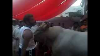 getlinkyoutube.com-Bull Qurbani Bakra Eid 2014 (Cattle Farm Bulls)