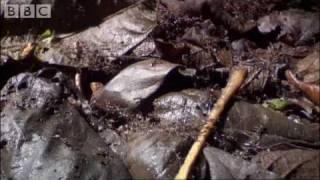 getlinkyoutube.com-Ants Vs Crabs - a surprising winner! - Ant  Attack - BBC wildlife