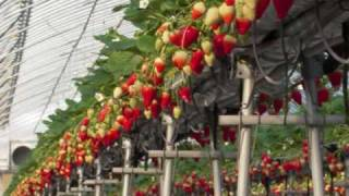 getlinkyoutube.com-おいしい苺ができるまで   How to grow delicious strawberries